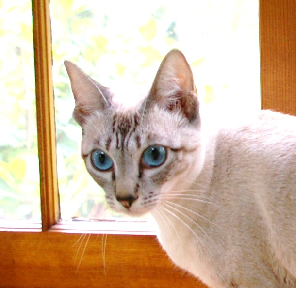 seal colorpoint lynx siamese cats